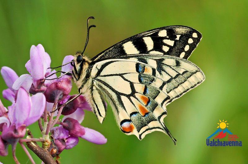 Valchiavenna farfalle meraviglie della natura - Immagini di farfalle a colori ...